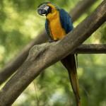 Last Wild Macaw In Rio Is Lonely And Looking For Love