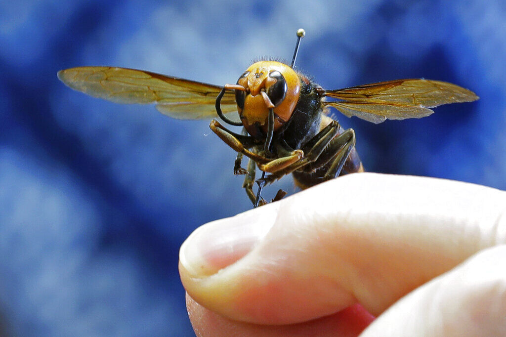First Live 'murder Hornet' Of 2021 Spotted Attacking A Wasp Nest In Washington