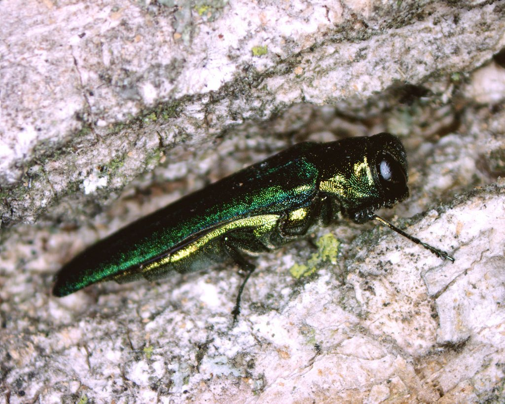 Emerald ash borer discovered in 2 more Iowa counties