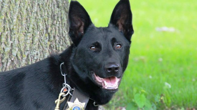Grant County euthanizes sheriff's K-9 that 'seriously' injured handler