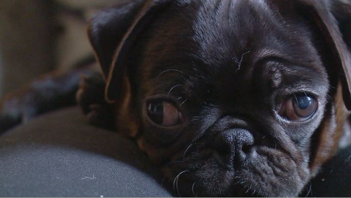 Dog owner works to ban pet stores from selling dogs