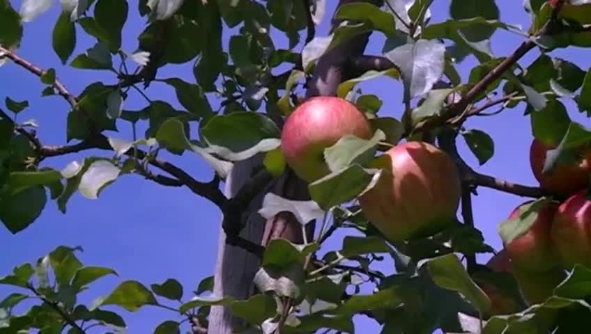 Applefest begins without many apples