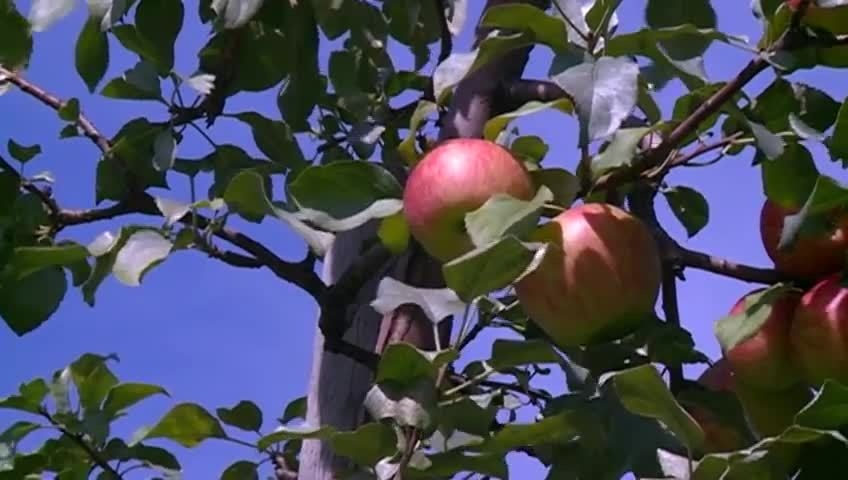 Apple crops bring high expectations for this year's harvest