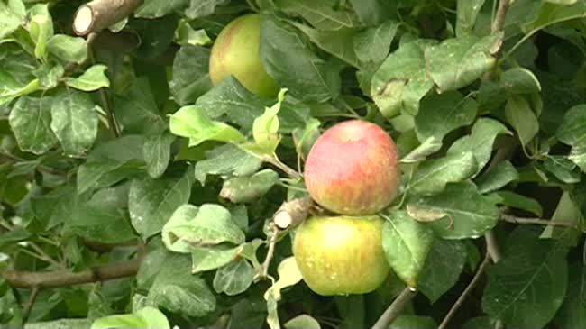 Area orchards say early apple crop looks strong