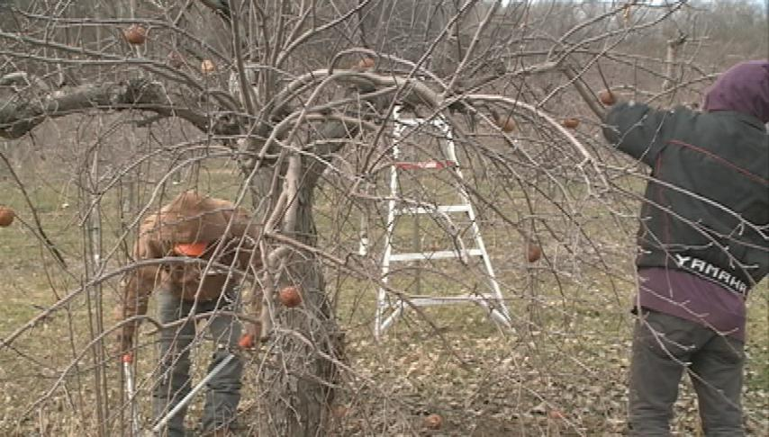 Warm weather a worry for apple growers