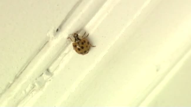 Asian lady beetles, box elders look to move in as temperatures cool