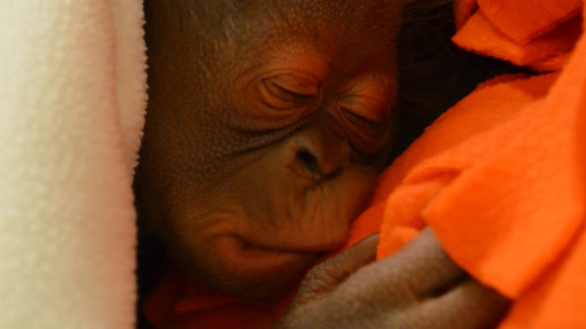 Baby orangutan born at Madison zoo