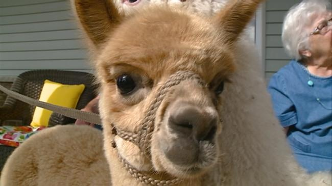 Baby alpacas visit Holmen assisted living home