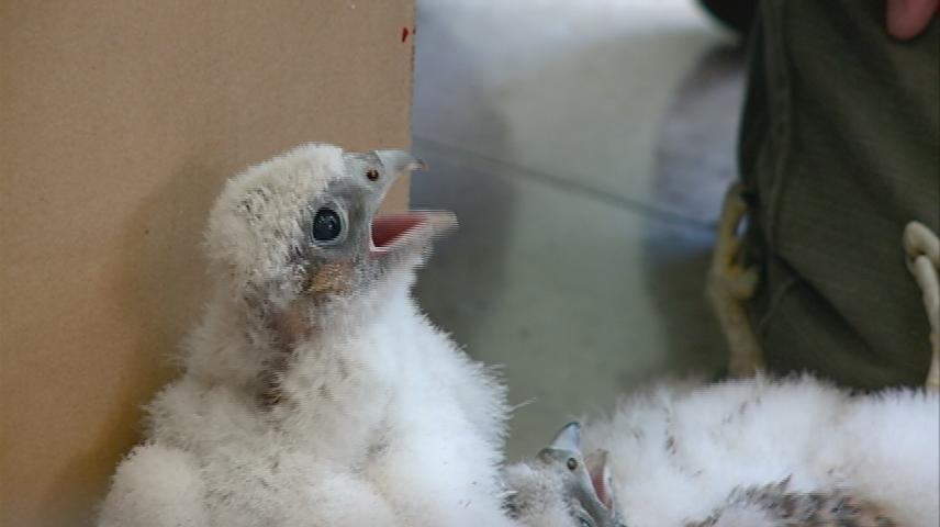 Juvenile peregrine falcon found hopping in La Crosse alley