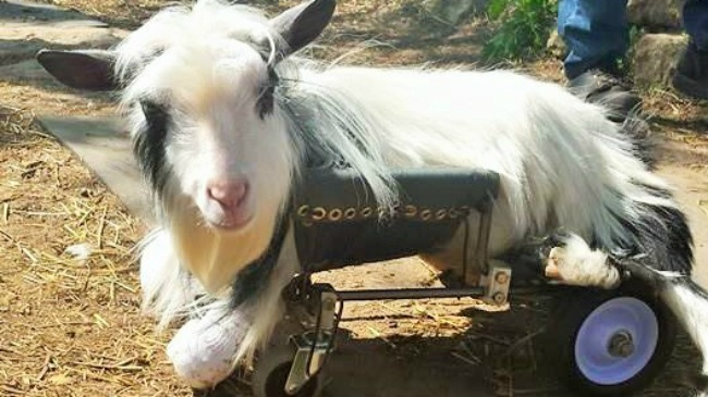 UW engineering students build mobility cart for disabled goat