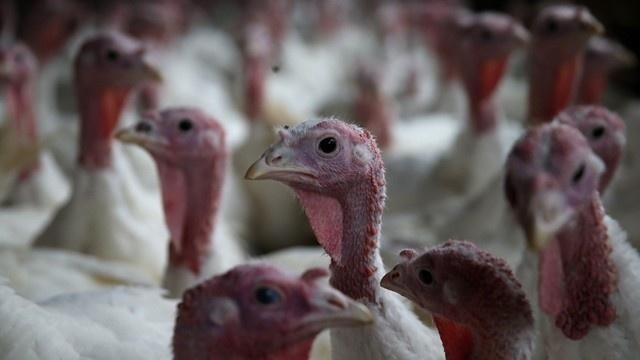 Farmers restocking their flocks as bird flu winds down