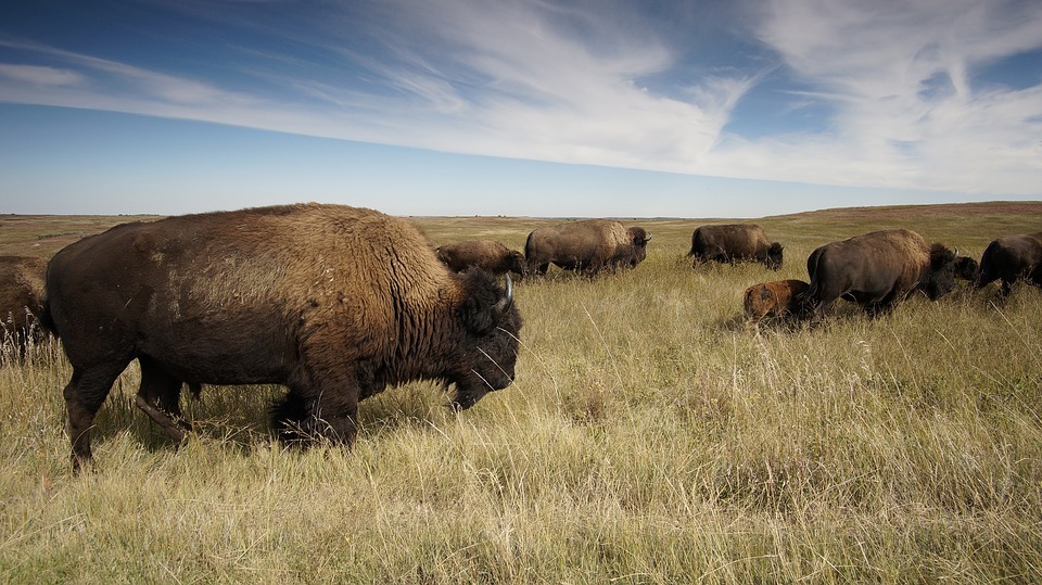 University of Minnesota hope bison herd will help ecosystem