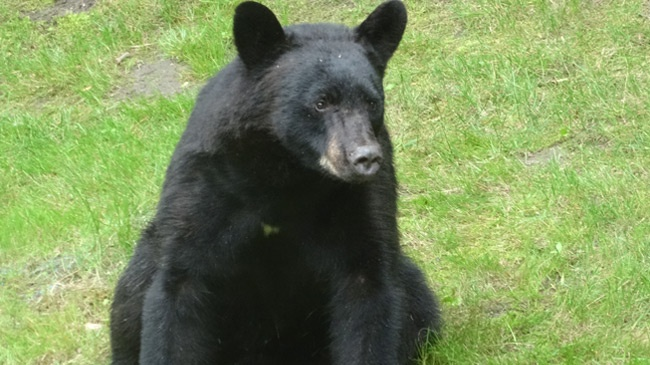 Bear killed after wandering into Minnesota recreation area