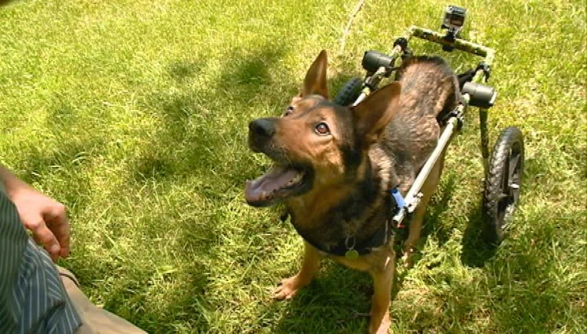 Police K-9 regains mobility in retirement, thanks to Gunnar's Wheels
