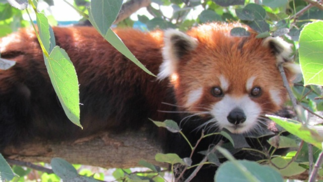 Red panda dies at Henry Vilas Zoo