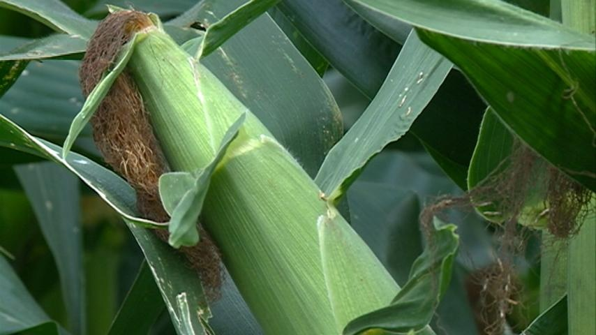 Good weather hurting price of crops
