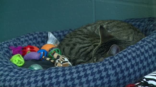 Humane Society offering non-traditional cat adoption option