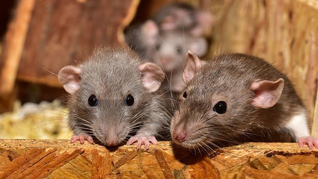 Duluth elementary school infested with rats