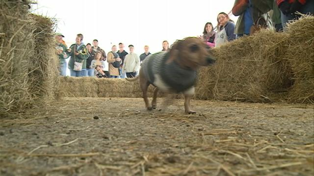 Dachshund Dash and Viener Vogue get tails wagging at Oktoberfest