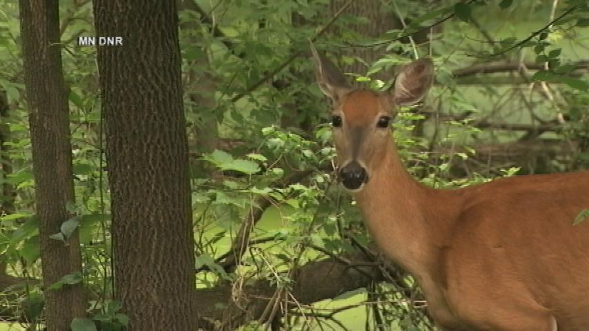 Parent uses chair to guide deer back out of school building