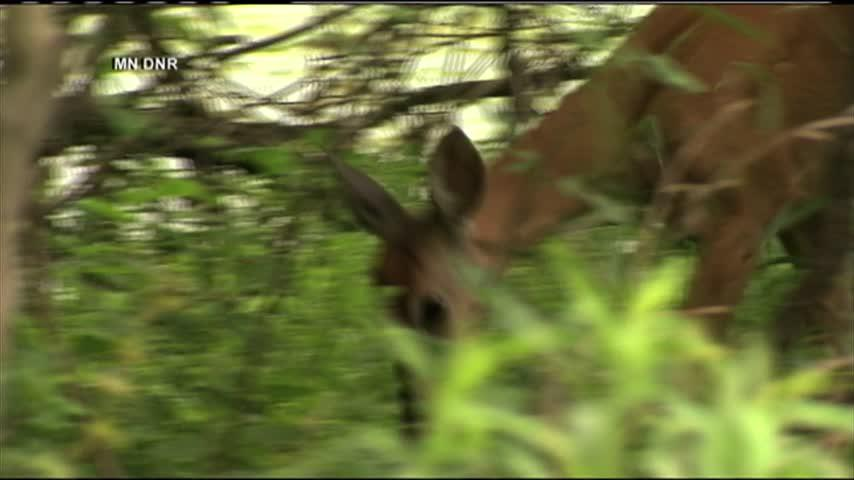 Gnat-borne disease turns up in Minnesota deer for 1st time