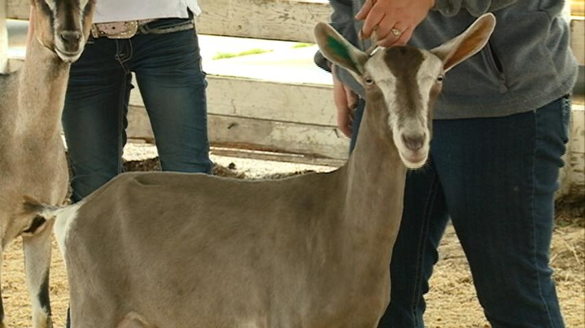 West Salem's 4th annual Goat Show held