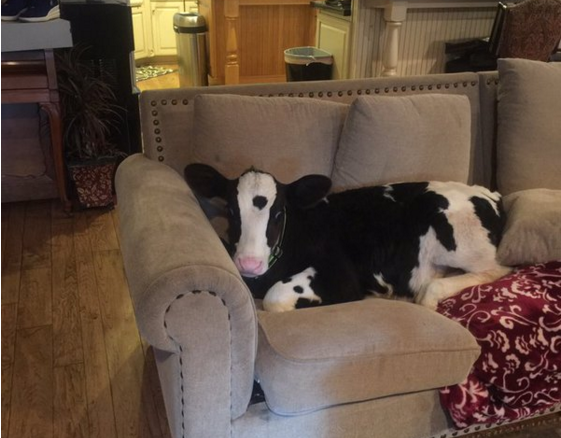 Cow thinks he's a dog