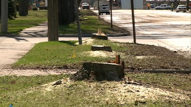 Ash trees come down along Losey Boulevard