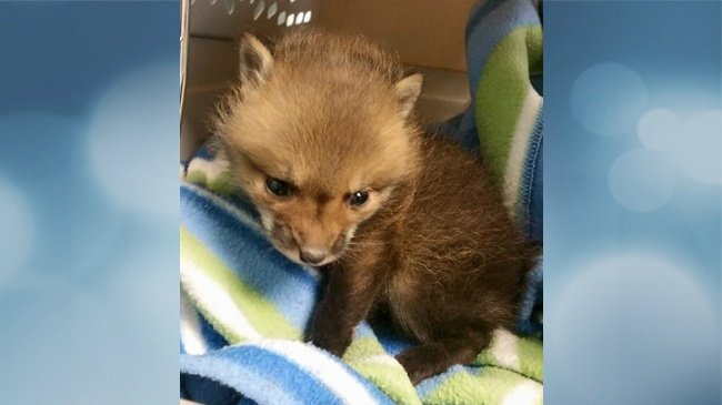 Baby foxes found in Middleton parking lot
