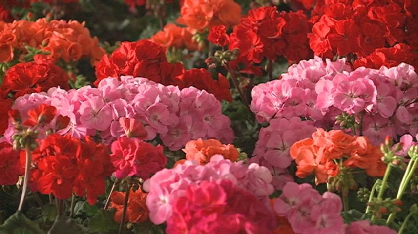 Annual Geranium sale hosted by Franciscan Healthcare Auxiliary
