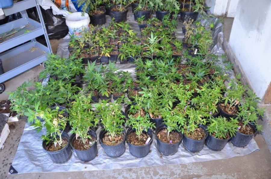 1,124 pot plants found in Dane County bust