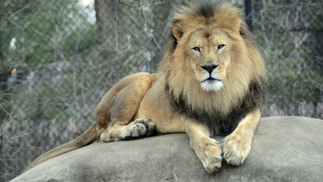 Henry Vilas zoo says Henry the lion has died