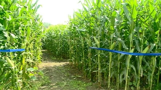 Hidden Trails Corn Maze opens for the fall