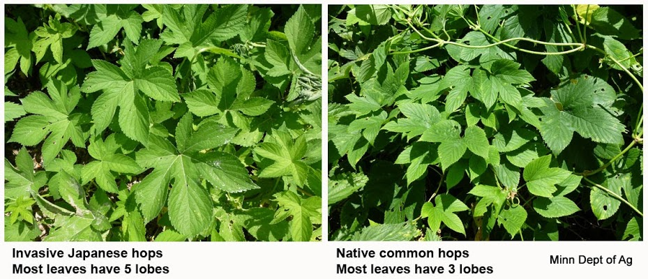 Invasive vine found in Southeast Minnesota, public asked to help control the weed