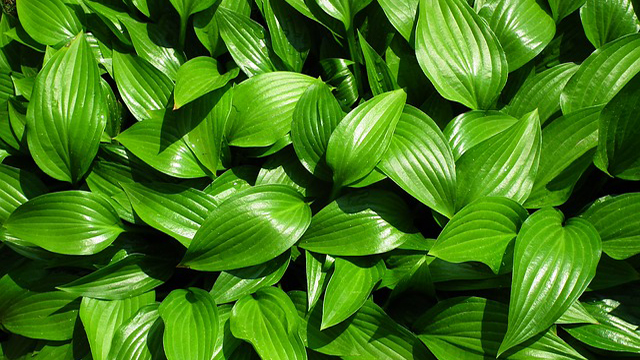 Eau Claire man's hostas to be sold internationally