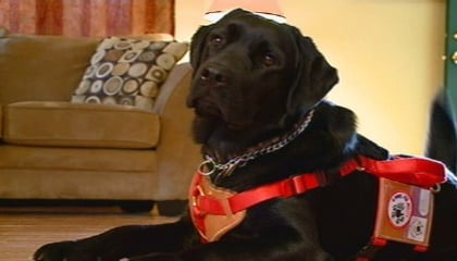 Autism service dog helps protect boy
