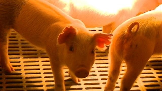 Pig virus causes bacon prices to skyrocket