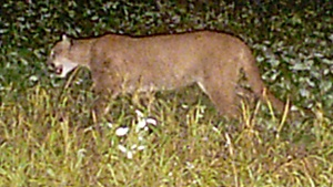 Wisconsin DNR holding online chat about cougars
