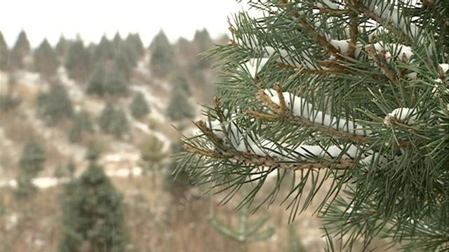 Christmas tree farms thrive in booming season