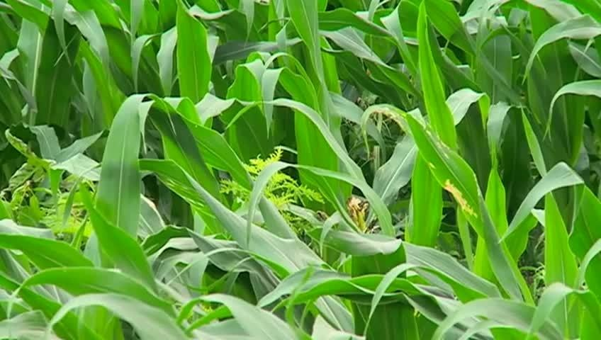 Ag expert: productive corn crop in Wis. despite weather