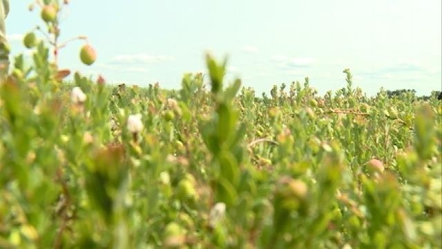 Influx of bees could kickstart cranberry crop