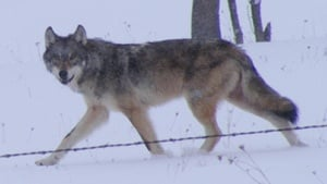 DNR survey shows Minnesota's wolf population remains stable