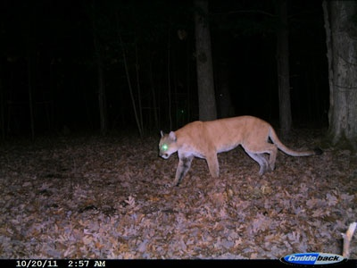 Wisconsin DNR warns hunters to watch for cougar