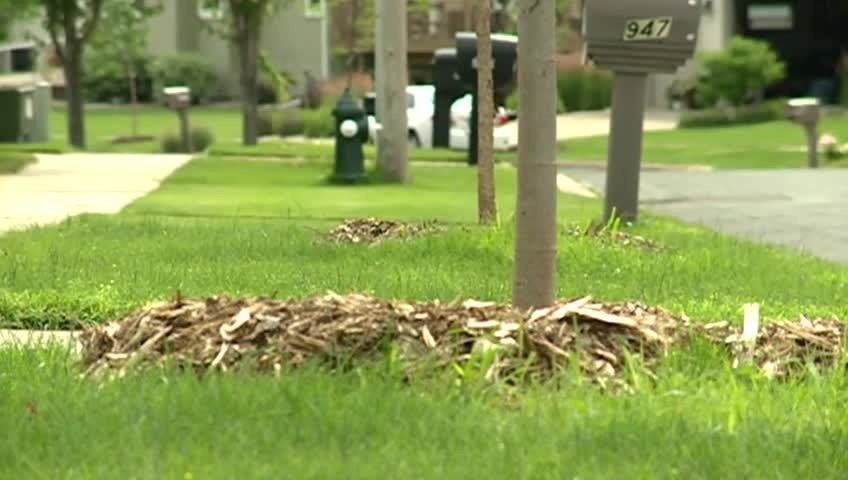 Onalaska replacing hundreds of trees lost to EAB