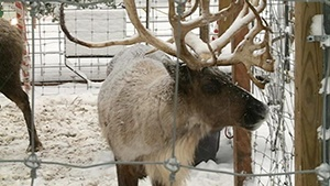 'Reindeer Cam' goes live at Como Park Zoo