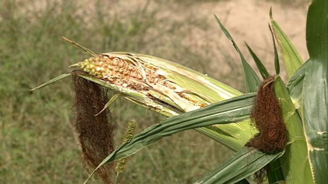 Drought, late planting takes toll on corn crop