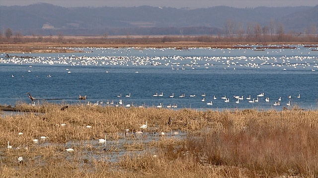 25,000 Tundra Swans flying through Brownsville
