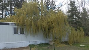 No one injured after willow tree falls on mobile home
