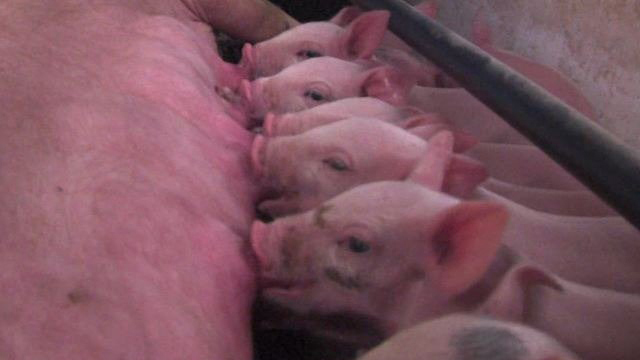 US sets pig record with 73.5 million animals, led by Iowa