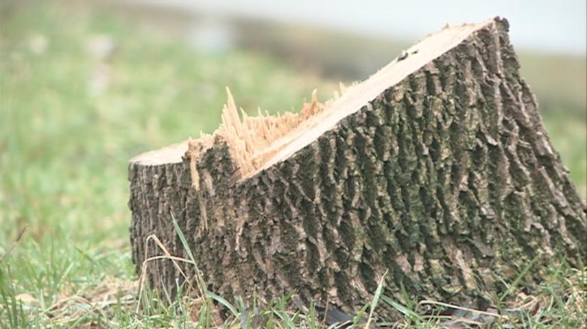 La Crosse City to begin removing 481 stumps